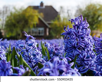 Purple Hyacinth in a field near Lisse and the Keukenhof in the Netherlands.