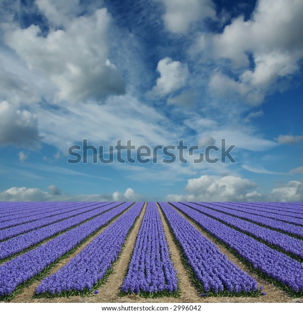 purple hyacinth fields in holland with a cloudy sky