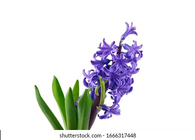Purple Hyacinth flower over white background