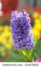 purple Hyacinth Flowers background blurred