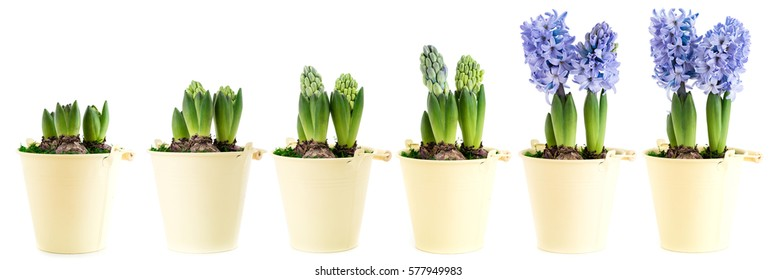 Purple hyacinth in six stages of growth and blooming
