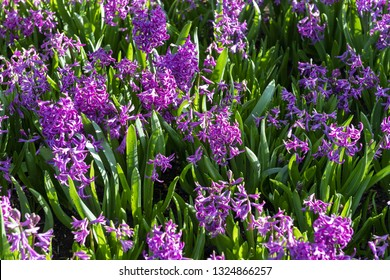 Purple Hyacinthus, Species orientalis, Hyacinth. Attractive spring bulbous flowers. Highly fragrant however the bulbs contain a poison called oxalic acid, The Hyacinthus represents prudence,