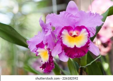 purple hybrid cattleya orchid