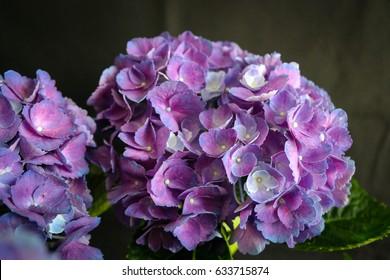 Purple hydrangea bunch on black backdrop in studio natural lighting