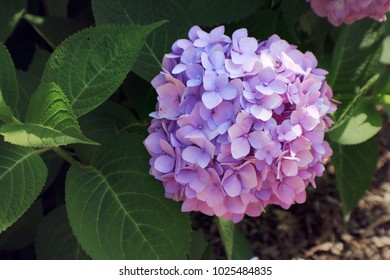 Purple Hydrangea Close Up