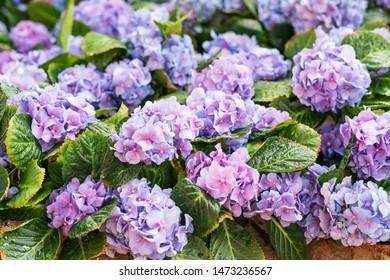 Purple hydrangea flower or Hydrangea macrophylla in a garden