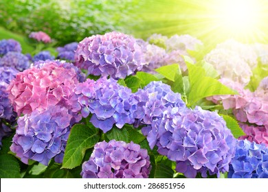 Purple Hydrangea flower (Hydrangea macrophylla) in a garden