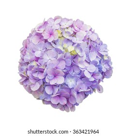 Purple Hydrangea Flower on isolate white background