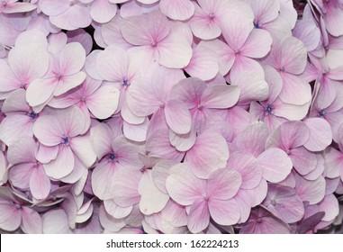 Purple hydrangea flowers for background