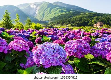 Violette Hydrangea-Blumen blühen schön im Yangmingshan Nationalpark, Taiwan.