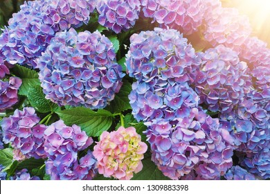 purple hydrangea flowers at the green leaves garden with oragne sun light ray