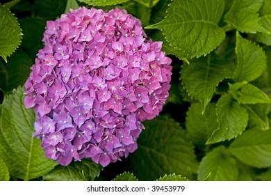 Purple Hydrangea macrophylla blooming