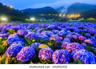 Purple Hydrangea at the night in Yangming mountain,Taiwan