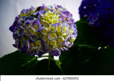 Purple Hydrangea on white backdrop or background in soft light studio