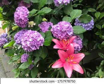 Purple Hydrangeas and pink lilies flowers in the garden