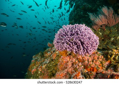 Purple Hydrocoral Ball with fish