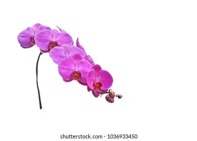 Purple Inflorescence orchid