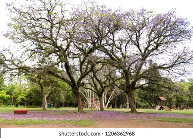 Purple Ipe at Ibirapuera Park Sao Paulo
