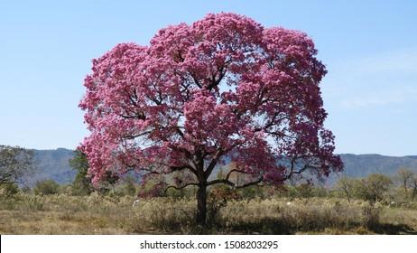 Purple ipe tree.  Brazilian Pantanal.