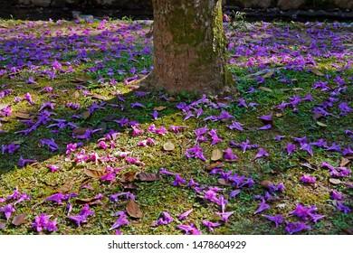 Purple ipe or purple trumpet tree flowers on soil, (Handroanthus heptaphyllus), Rio de Janeiro, Brazil