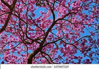Purple ipe or purple trumpet tree flowers, (Handroanthus heptaphyllus), Rio de Janeiro, Brazil