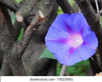 Purple ipomoea flower macro photo.