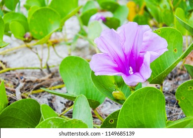 the  purple Ipomoea pes-caprae Sweet flower with green leaves on sand beach.