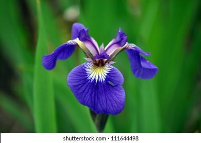 Purple iris flower growing in Alaska
