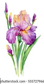 purple iris. illustration watercolor iris/ flower isolated on white background