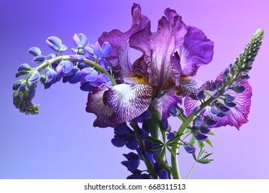 Purple iris and purple lupine on a purple background.