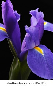 Purple Iris on Black