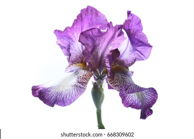 Purple iris on white background, isolated.