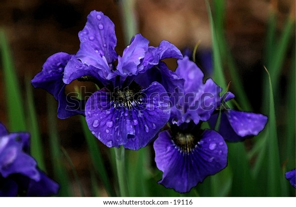 Purple iris are a sure sign of Spring.