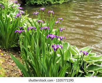 Purple irises and hosta plants beside a lake