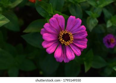 Púrpura, zinnia aislada en el jardín