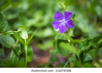 purple ivy flowers