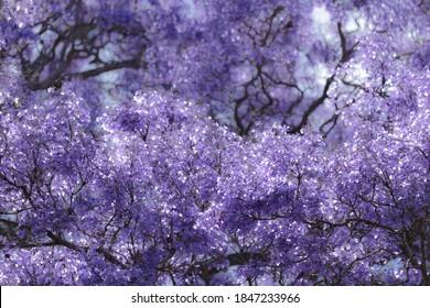 Purple jacaranda flowers are in full blossom.