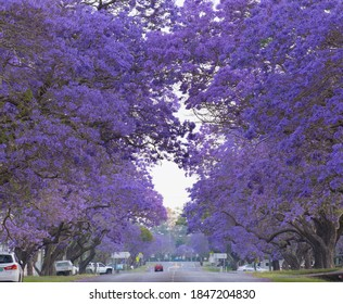 Purple Jacaranda tunnel in Grafton Australia.