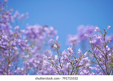 Purple Jacarandas flowers