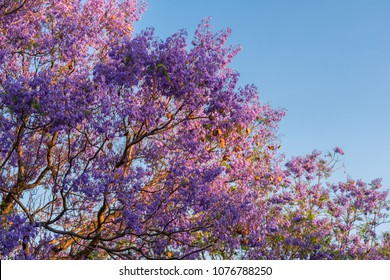 Purple Jacarandas tree in park at sunset