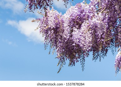 purple Japanese Wisteria (Wisteria Floribunda) flowers in bloom against blue sky with copy space on left