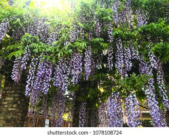 Purple Japanese Wisteria (Wisteria Floribunda) in full bloom