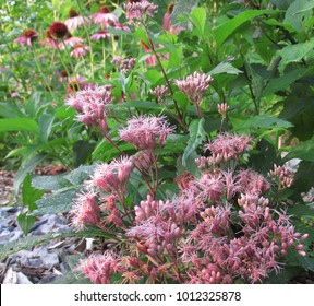 Purple Joe Pye Weed flowers
