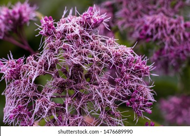 Purple Joe-Pye weed blooming in the Botanical garden. Beautiful flowers.