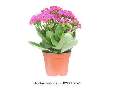 Purple kalanchoe flower in a brown pot, house plants isolated on white, Flower gift, This has clipping path.