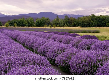 Purple landscape at a Lavender farm in Sequim, Washington, USA