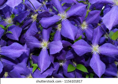 Purple Large Clematis flower (Clematis x jackmanii) garden flower pattern ultra-violet background. Seamless violet  floral pattern, clematis background. Flowers with big four colorful petals & leaves