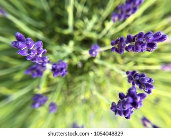 Purple lavender buds seen from the top down with flared perspective