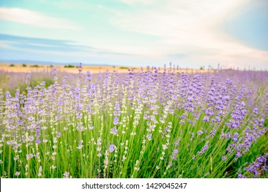Purple Lavender field   in a sunny day  in  Europe, Bulgaria . Background, walpaper