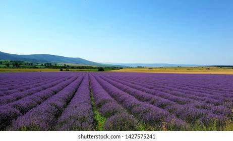 Purple Lavender field  at sunset in  Europe, Bulgaria . Background, walpaper